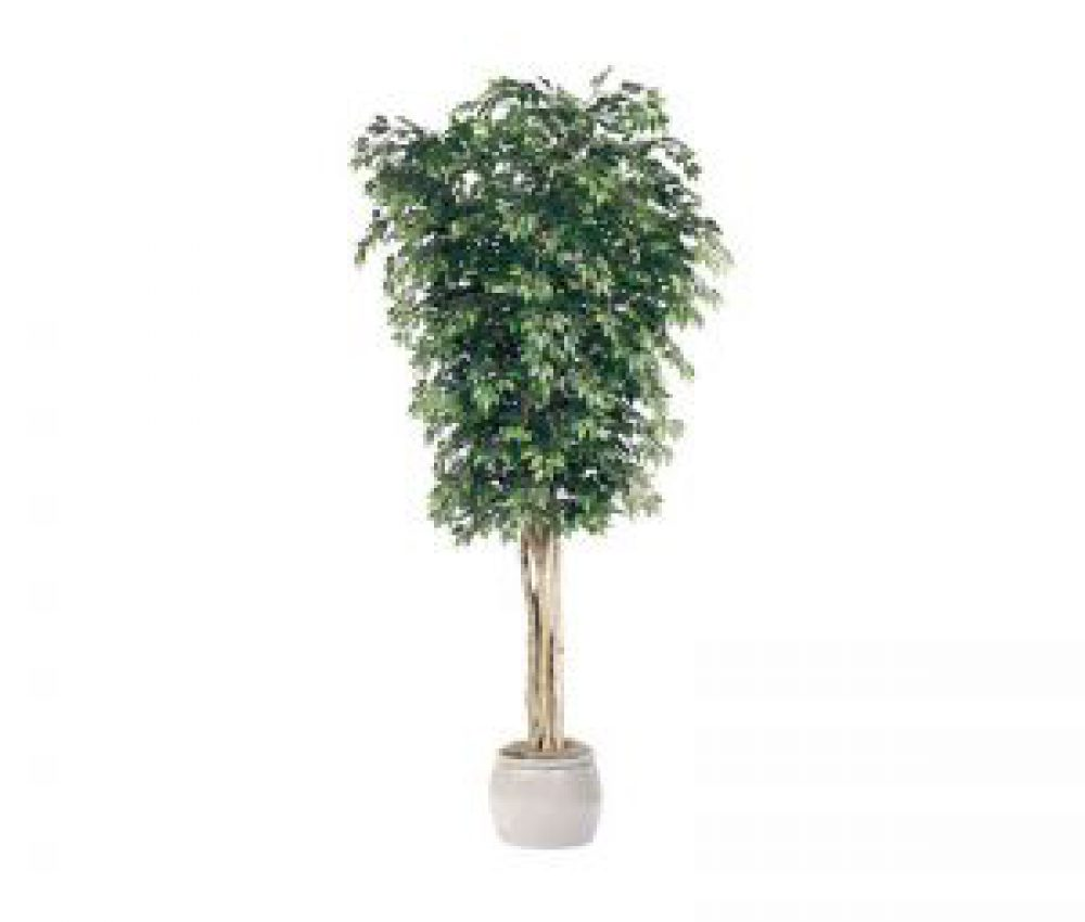 10-ficus-tree-green-indoor-1