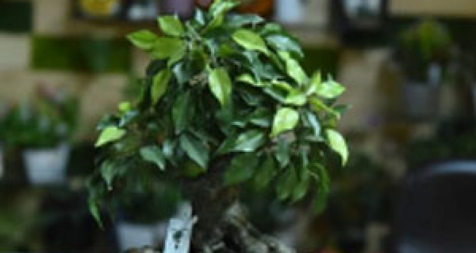 Ficus-Bonzai