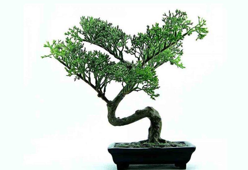 bonsai2-1000x700_c